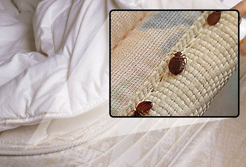 أسباب ظهور حشرة بق الفراش
