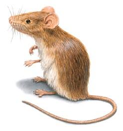 Photo of كيف اطرد الفئران