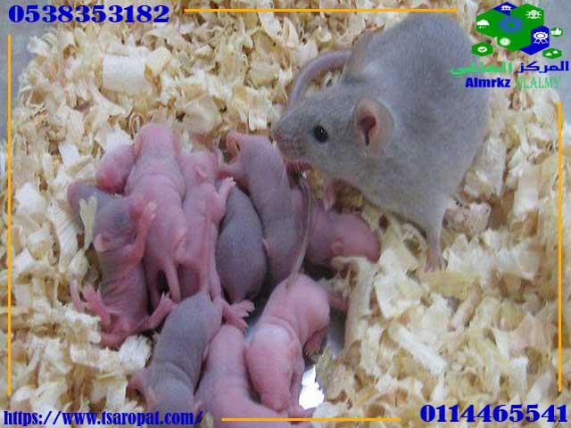 Reproduction of mice