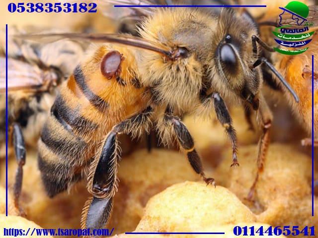 خلية النحل في المنزل