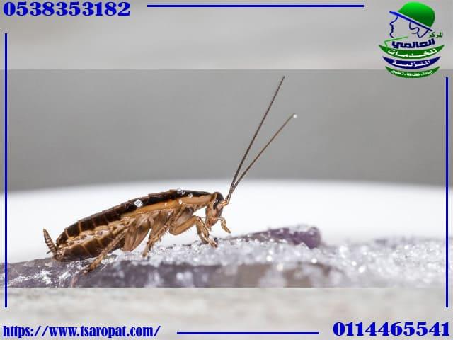 هل القرنفل يقتل الصراصير