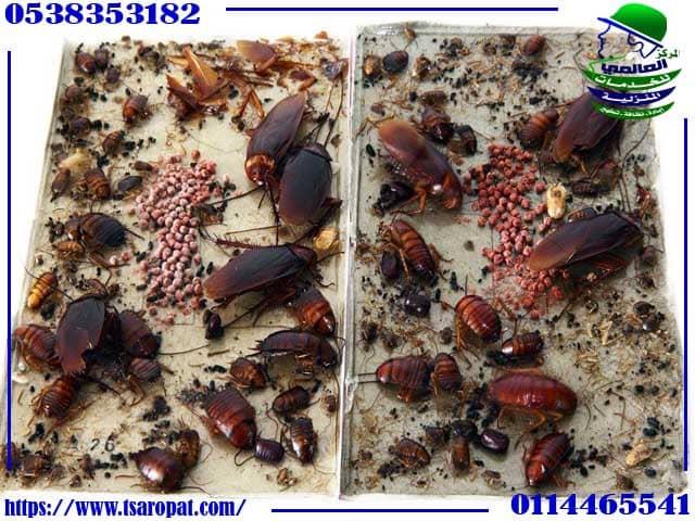 القضاء على الصراصير الصغيرة