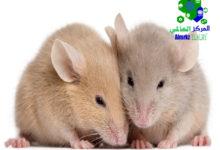 الفئران بالرياض