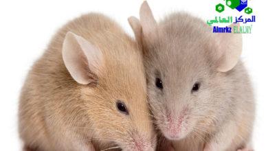 مكافحة الفئران بالرياض, مكافحة الفئران بالرياض وطردها من المنازل, شركة المركز العالمي