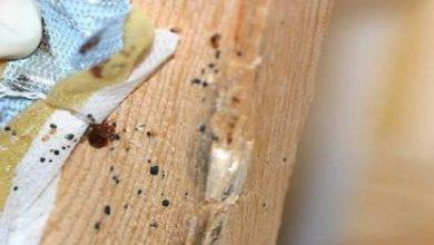 حشرة سوس الخشب وطرق التخلص منها
