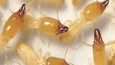 شركة مكافحة النمل الابيض بعد البناء