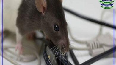 سم فئران طبيعي, مكافحة الفئران سم فئران طبيعي, شركة المركز العالمي