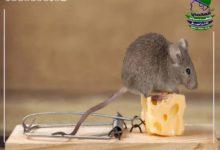 القضاء على الفئران في المنزل