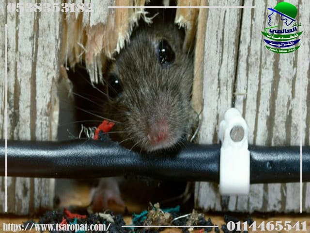 انواع الفئران