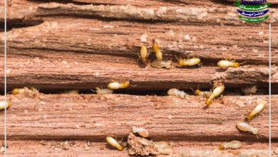 مكافحة النمل الابيض بالقصيم