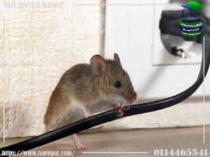اسرع طريقة لقتل الفئران