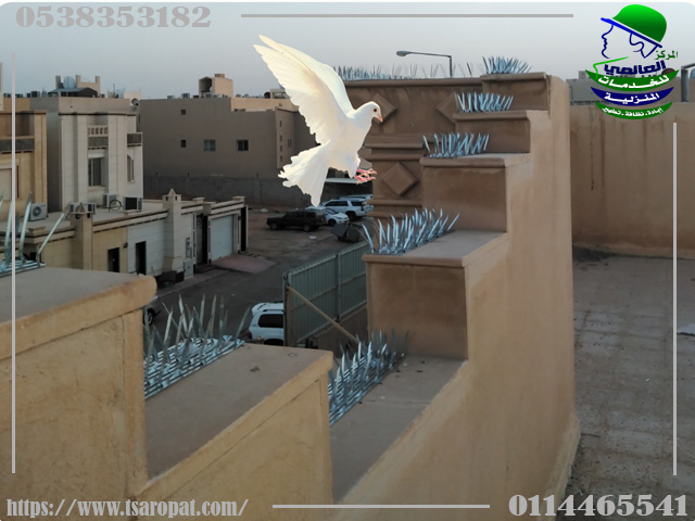 Fighting pigeons in Riyadh